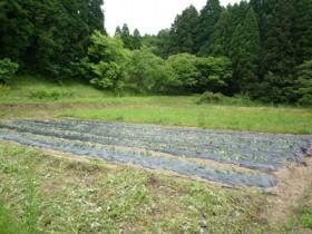 三瀬のイモ畑