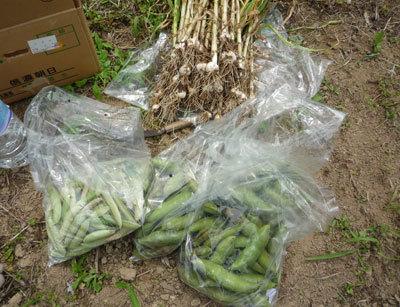 三瀬の畑の収穫